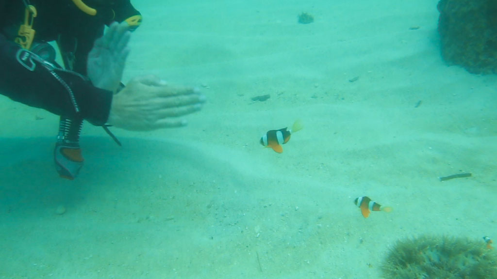 fighting against clownfish