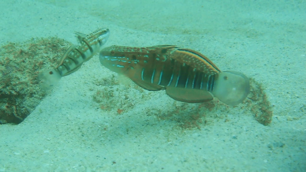 banded goby
