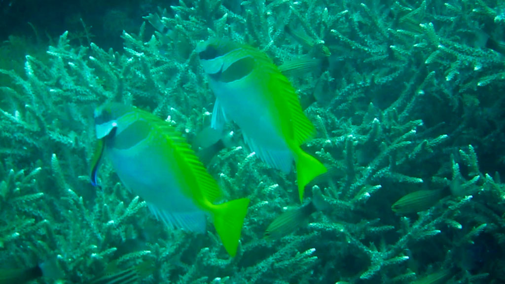 cleaner fish (small)